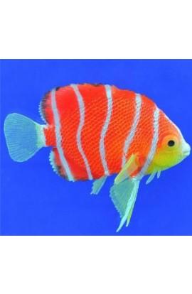Eshopps Floating Peppermint Angelfish
